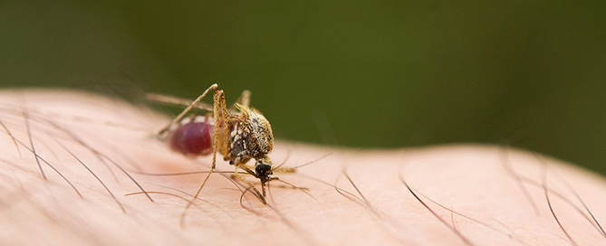 Anopheles mosquito dangerous vehicle of a malaria infection. ** Note: Visible grain at 100%, best at smaller sizes